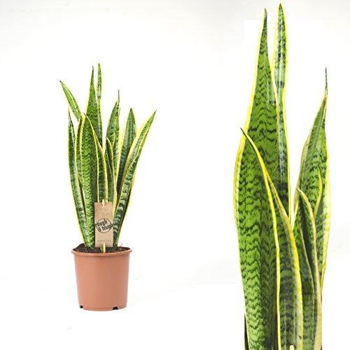 Inter Flower - 1 x Trifasciata von Sansevieria Laurentii 80 cm beliebte Zimmerpflanzen, Luftreinigung, Hanf, Familienbogen, Spargelpflanzen Asparagacea, Suculenta Planta, exotisch,