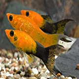7 Gold DUST LYRETAIL Molly Package - Freshwater...