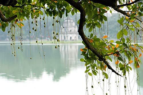 Frischwasser Mangrove -Barringtonia acutangula- 1 Samen