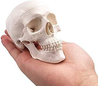 YXZQ Small Human Skull Model, Human Medical Anatomy for Education Adult Skull-Medical Art