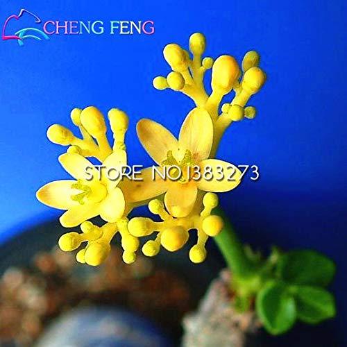 Green Seeds Co. 2016 Jatropha bonsaï 30 Pcs Accueil Fleur bonsaï Sementes Bonsaï Jardin bonsaï Arbre Un Rare Japonais Plantes En Pot Maison Mini Plante: Blanc