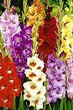 Glaïeuls Mélange - 100 Bulbes de Glaïeuls à Grande Fleurs - Livraison Gratuite