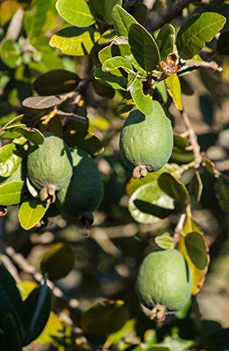 Pianta di Feijoa (varietà MAMMOTH) - Acca Sellowiana