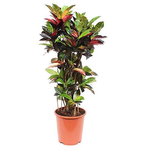 Zimmerpflanze von Botanicly – Kroton – Höhe: 100 cm – Codiaeumvariegatum Mrs Iceton