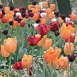 Aimado Seeds Garden - Graines de Collection 100 Harmonie de tulipes Lumiere/Collection Tulipes Romantiques/Parfumées/roses/Lollipops mélange grainé fleur jardin plante vivace résistant