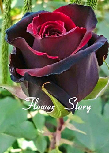 20 Black Rose Seeds - avec bord rouge, couleur rare, populaire jardin de fleurs vivaces Graines Bush ou Bonsai Fleur
