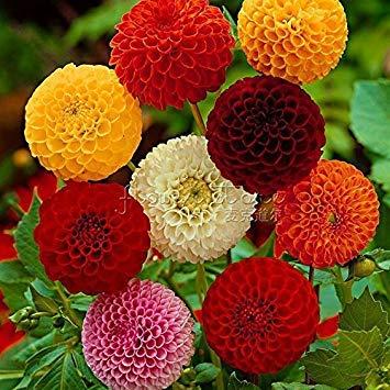 Fash Lady (MIX Color * Ambizu *) Nouveau 100 graines de Dahlia - Pompon ~ beaux jardins