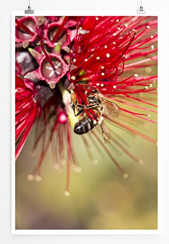 Eau Zone Home Bild - Naturbilder – Roter Zylinderputzer mit Honigbiene- Poster Fotodruck in höchster Qualität