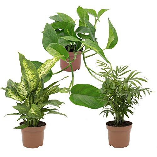 Dominik Blumen und Pflanzen, Zimmerpflanzen Tropic-Trio, Efeutute, Zimmerpalme und Dieffenbachia