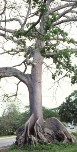 10 Semillas Ceiba pentandra, Kapok árbol tropical de floración de madera de semillas de algodón Bonsai