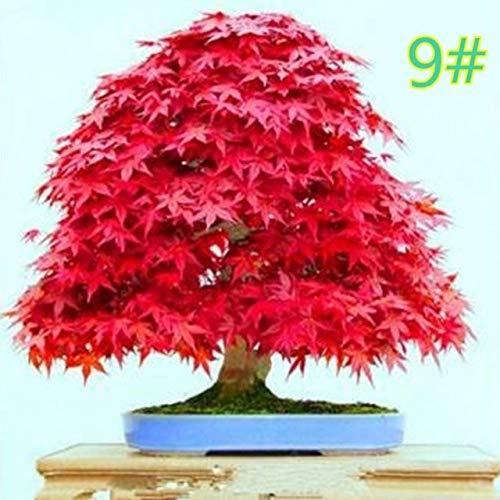 20st Zaad van de Esdoorn Bonsai DIY Plant Flower Pot Kleurrijke Bladeren creatieve huishoudelijke Thuis Mini Gardening Decor E65B: 8QQ600186-21
