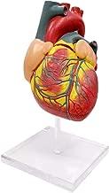 Evotech Scientific Human Heart Model, 2 - Part Heart Models Anatomy Life Size Medical Heart Model