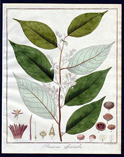 Benzoin officinale - Benzoe benzoin resin Botanik Kupferstich engraving antique print