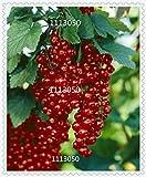 Neue Ankunfts-Rote Johannisbeere Obst Pflanze Pan-American Stachelbeere Samen Laterne Obst Samen sementes da Fruta - 100 Samen / Packung