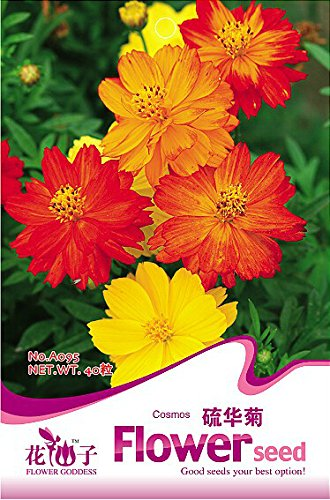 1 Original Pack, 40 graines / Pack, COSMOS SULPHUR MIX Cosmos Sulphureus Flower Seeds # A095
