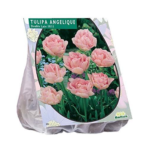 Tulipa Dubbel Laat Angelique 20 Stück Tulpen Blumenzwiebel