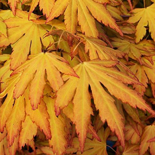 Acer palmatum 'Orange Dream' | Japanese Maple Deciduous Potted Trees for Small Gardens | Premium Bushy Plant Shrub Tree in Pot (20-40cm (Incl. Pot))