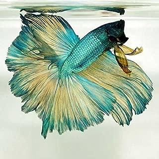 Halfmoon Rosetail Betta - Live Aquarium Tropical Fish