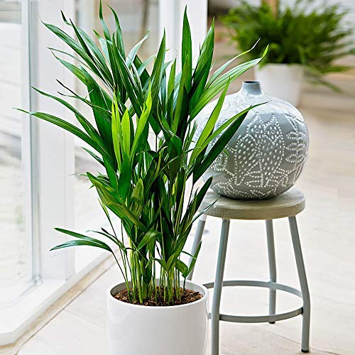 """American Plant Exchange Areca Palm Indoor/Outdoor Air Purifier Live Plant, 6"""" Pot"""
