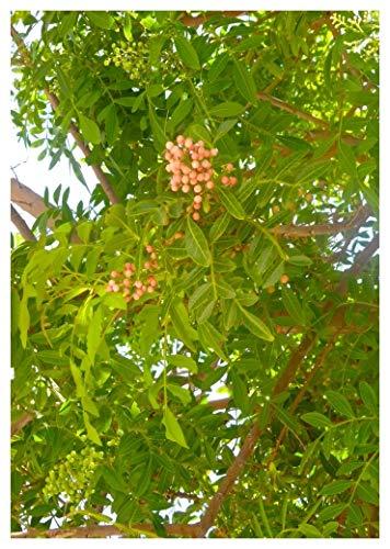 TROPICA - Brasilianischer Pfefferbaum (Schinus terebinthifolius) 30 Samen