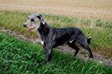 LURCHER & BEDLINGTON WHIPPET DOGS: A Guide of How to Choose ,Care & Rear a Healthy Dog