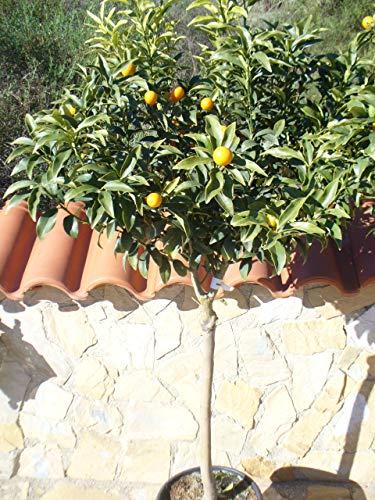 Viveros Jaravia, Árbol de Naranjo Chino, Naranjo Enano, Kumquat, género fortunella