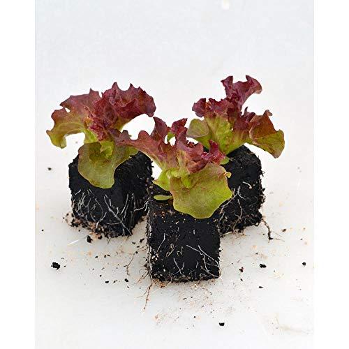 Gemüsepflanzen - Lollo rossa Salat - Lactuca sativa var. crispa - Asteraceae - 12 Pflanzen