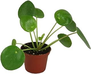 TOPmountain Pilea Peperomioides Seeds 50pcs Chinese Money Plant Seeds Garden Balcony Plants Seeds Decor