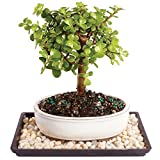 Brussel's Live Dwarf Jade Outdoor Bonsai Tree - 4 Years Old; 6' to 10' Tall with Decorative Container, Humidity Tray & Deco Rock