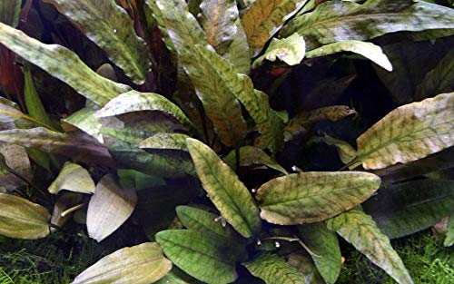 Tropica Aquarium Pflanze Cryptocoryne wendtii Nr.109E Wasserpflanzen Aquarium Aquariumpflanzen
