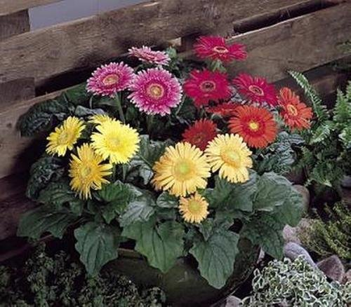 Gerbera Festival Series Semi Double Mix Annual Seeds