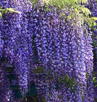 Beautiful Blue Moon Wisteria Tree Plant 8-12