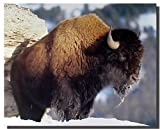 American Bison Yellowstone National Park Buffalo Wildlife
