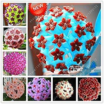 Vistaric 20 pcs/bag Hoya seeds, hoya plant, ball orchid seeds, raras semillas de flores bonsai, maceta de crecimiento natural para la plantación de huertos caseros