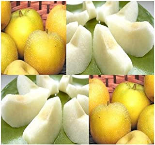 4 Packs x 5 Japanese Chinese KOREAN Asian Sand Pear - TREE Seed SEEDS - VERY JUICY - P. pyrifolia - HIGHLY PRIZED FRUITS - Cold Hardy Zones 6-9 - By MySeeds.Co