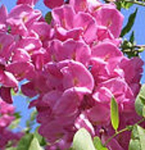 Ferry Arnot Purple Rosa Akazie Akazie blühenden Baum Hardy