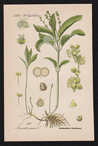 Bingelkräuter Mercurialis Lithographie Kräuter Heilkräuter herbs herbal