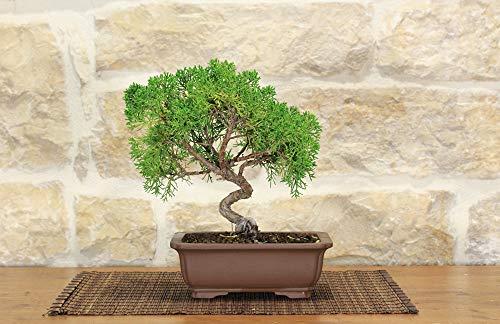 Juniper Itoigawa bonsai tree (56)