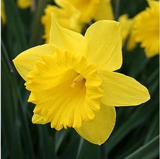 لامپ Master Daffodil هلندی - کیسه لامپ Value 50 - برای کاشت پاییز
