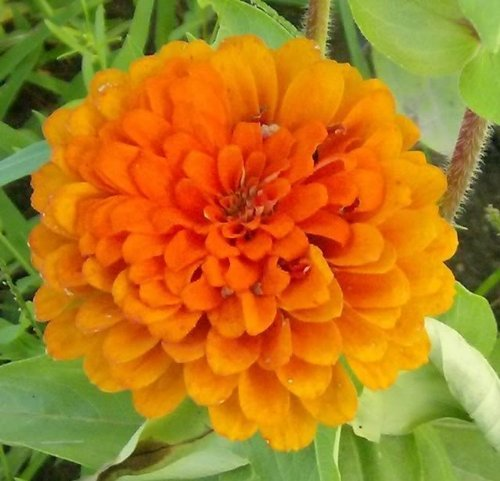 250 ORANGE KING ZINNIA Elegans Graines de fleurs