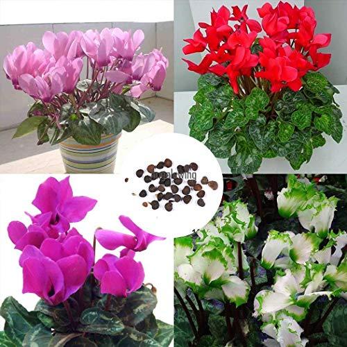 Portal Cool Weiß: 10pcs Garten Balkon dekorative Bonsai Blume Pflanze Alpenveilchen Samen Agsg