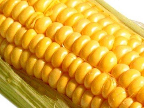 Or bantam graines de maïs améliorées ~ Early doux longues oreilles ~ Canning Stockage
