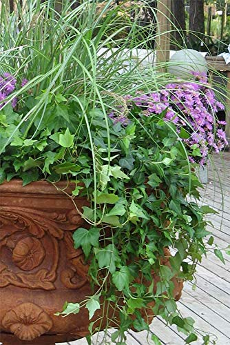 "AMERICAN PLANT EXCHANGE English Ivy Needlepoint Live Plant, 6"" Pot, Green Trailing Vine"