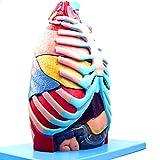 Modello Anatomico di Torace Umano Medico, tra Cui Ossa e Cartilagine, Muscoli e Tendini, Organi Interni, Albero Bronchiale, Nervi e Ghiandole Vascolari e Altre Strutture