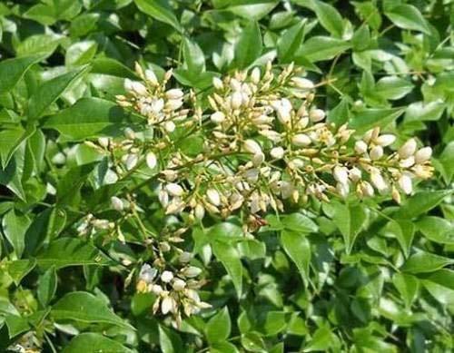 Nandina domestica | Bambou céleste sacré | 20_Seeds