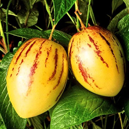 Ultrey Samenshop - Selten Melonenbirne Samen Mini Pepino Früchte Obst & Gemüse Samen Haus Bonsai Pflanze für Garten Balkon/Terrasse (100 Stück)