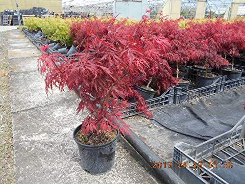 Acero Rosso Giapponese'Acer Palmatum Dissectum Crimson Princess' vaso ø20 cm