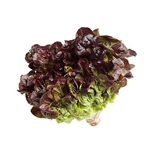 Feuille de chêne rouge laitue (feuille de chêne) Graines de 500 feuilles mobiles 1000, 2000, 5000 en vrac Crisp