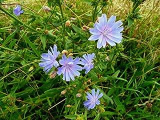 1 lb Chicory Seeds, Food Plot Seed, Deer, Wildlife