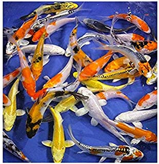 Blue Ridge Live Koi Fish Standard Fin - Garden Pond, Aquarium and Tank, Healthy and Bio-Secure - Grade AA